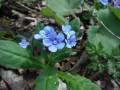 咲きたてのヤマルリソウがちらほら