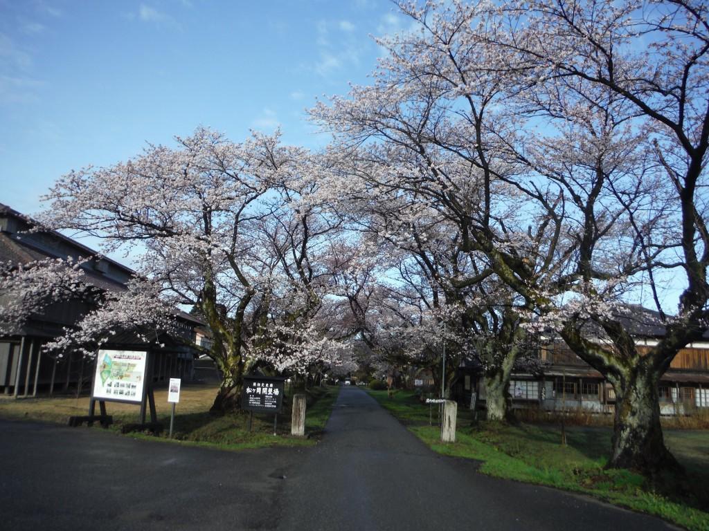 松ヶ岡の桜満開です。
