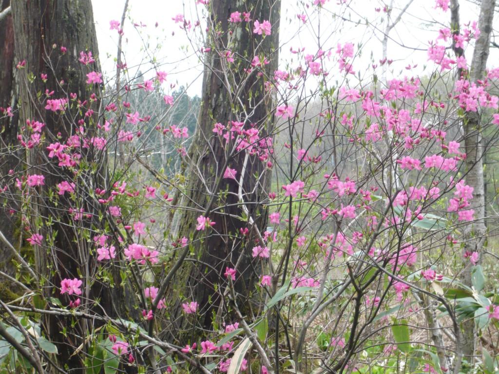 優しい春の色「ムラサキヤシオ」