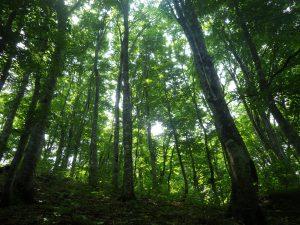 緑が鮮やかなブナ林