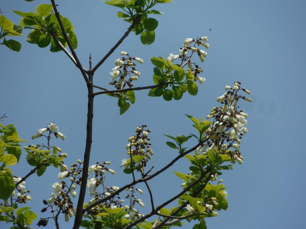 白いキリの花