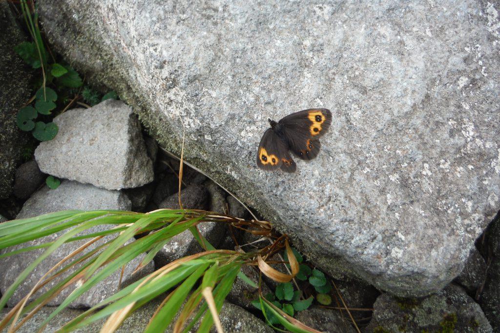 高山蝶。ベニヒカゲ